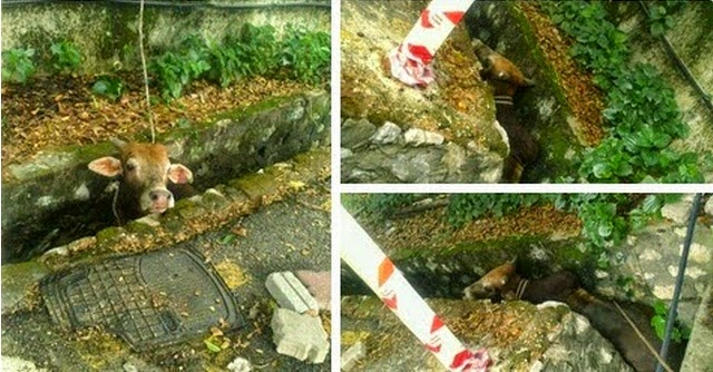 Koleksi Gambar Gambar Binatang Sembelihan Kurban Yang Lari Dari Tapak Sembelihan
