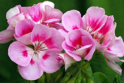 Geranium roze