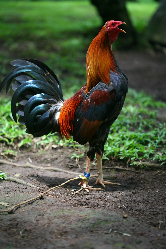 Gamecock Rooster
