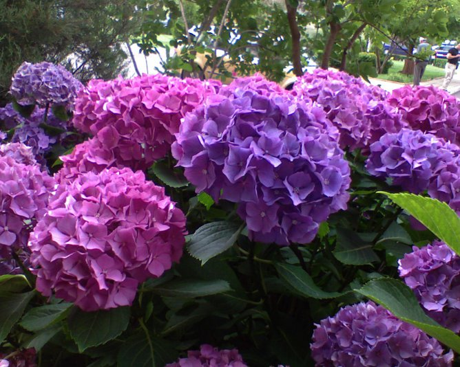 Hydrangea plant hortensia care climbing - Caring hydrangea garden ...