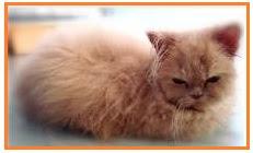 kucing%2Bcacingan CACING PITA KUCING   Dipylidium caninum