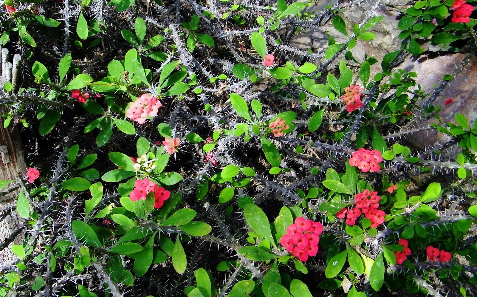 rośliny szklarniowe wilczomlecz ogród