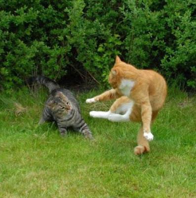 Foto kucing berantem yang keren 03