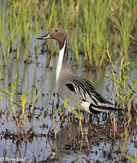 Northern Pintail, Terry Sohl - The Deskbound Birder