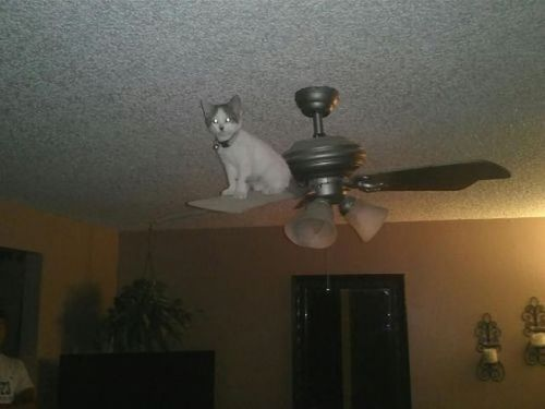 Ceiling fan cat funny cat pictures ceiling fan cat mozeypictures Image collections