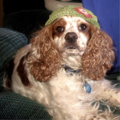 Spaniel in a hat