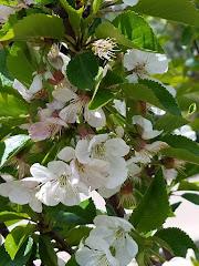 Sour cherries in full bloom in Denver