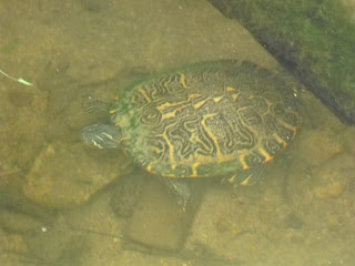 A Missouri River Cooter turtle at White Rock Lake, Dallas, TX
