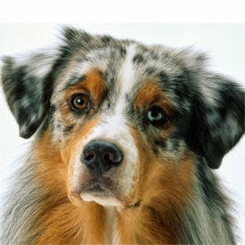 gastrite canina