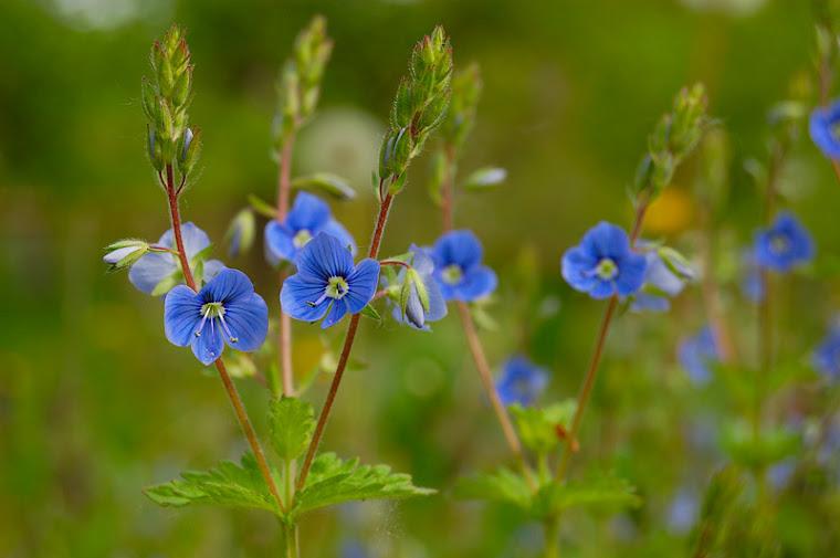 Iubire albastra!