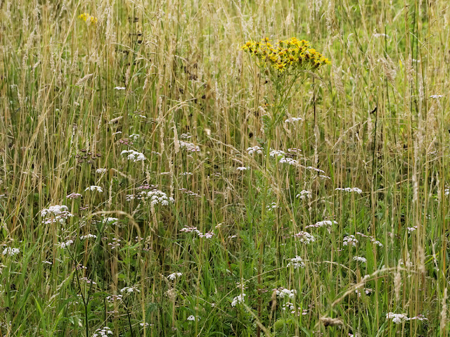Hedge parsley and ragwort growing in seeding grasses