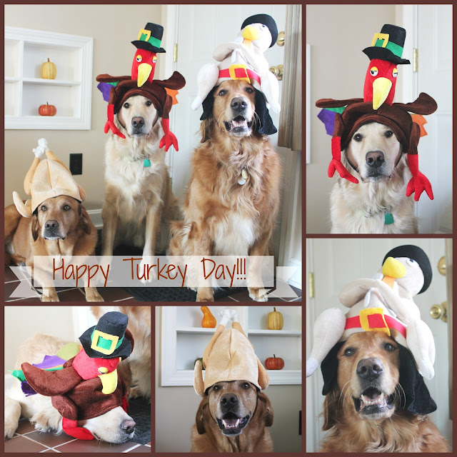 Golden Retriever dogs dressed up as turkeys for Thanksgiving