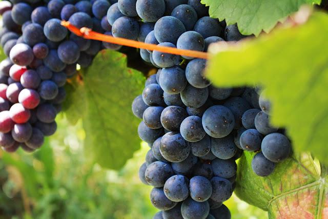 Raisin rouge Bourgogne