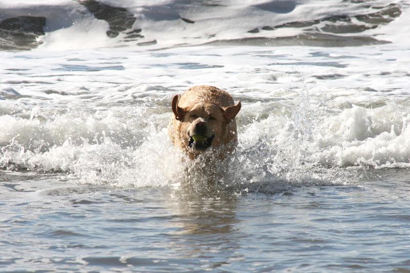 Labrador Cooper makes waves