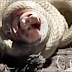 Watch a very intense battle between two snakes fight to the death