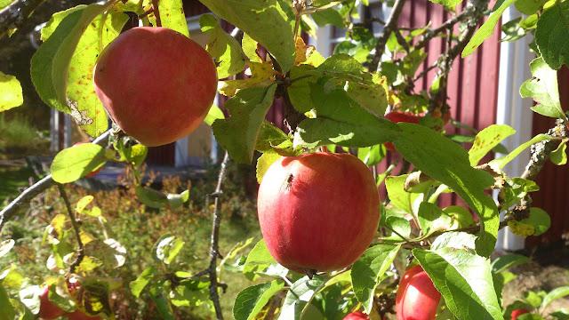 apples ecology Baggböle