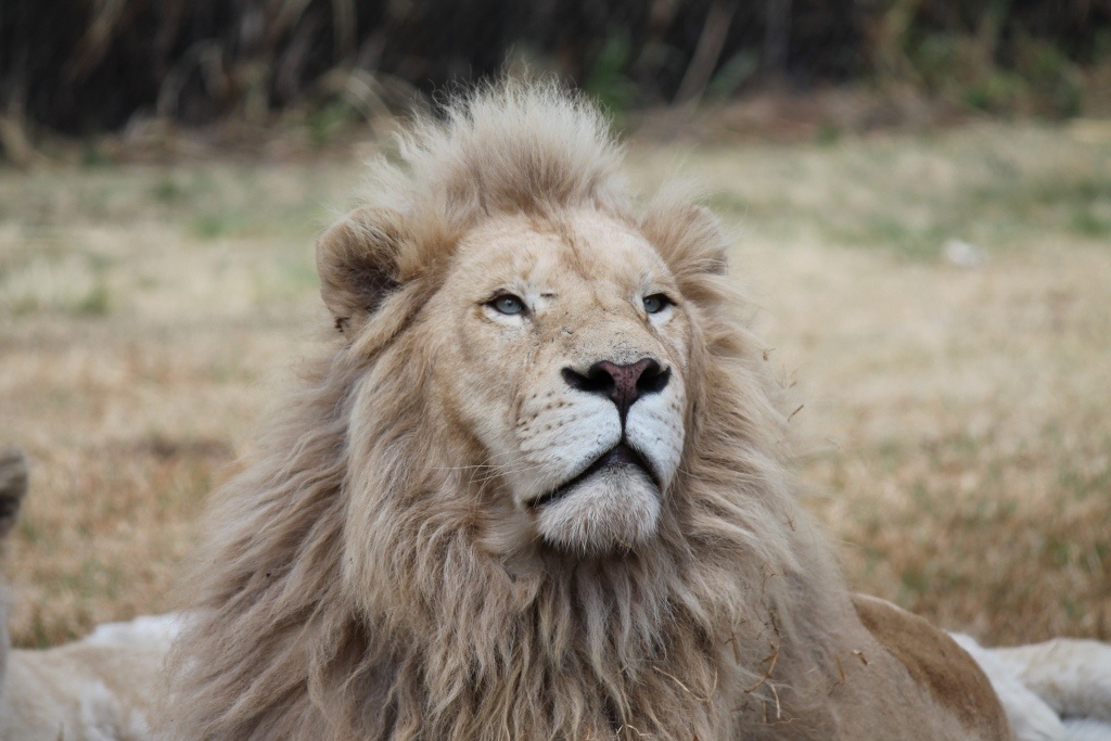 white lion with blue eyes