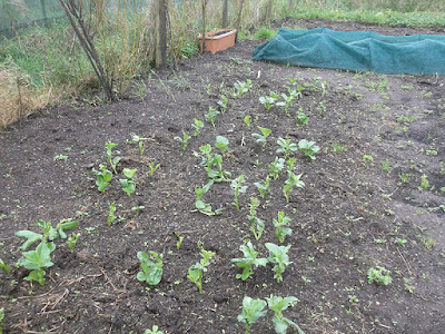 Autumn Sown Broad Beans