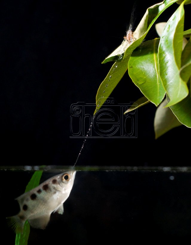 Udendras Blog: Some special freshwater fishes of Sri Lanka