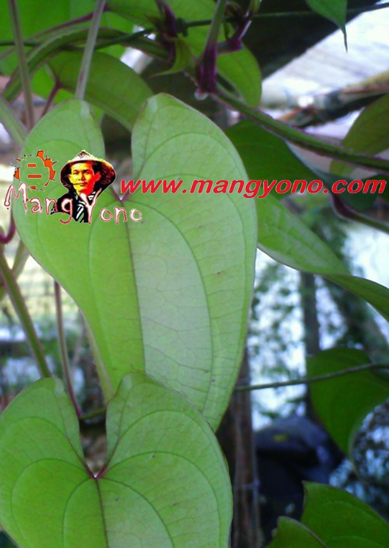 Pohon ubi kelapa / uwi biasanya dirambatkan ke pohon atau dibuat tiang