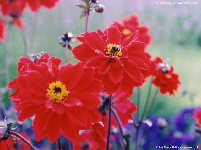 Flores Rojas Fondos