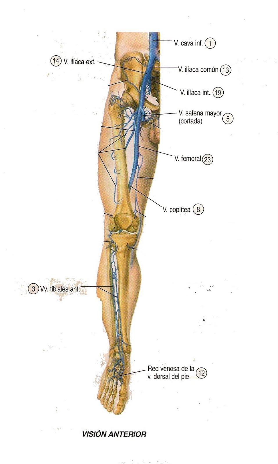 Bonito Anatomía Vena Femoral Inspiración - Anatomía de Las ...
