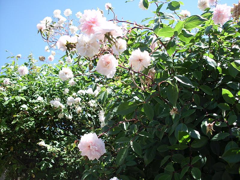 Publicado por lilian lopez en 9 27 - Arbol de rosas ...