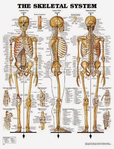 Skeletal System Anatomy And Fisiology Skeletal System