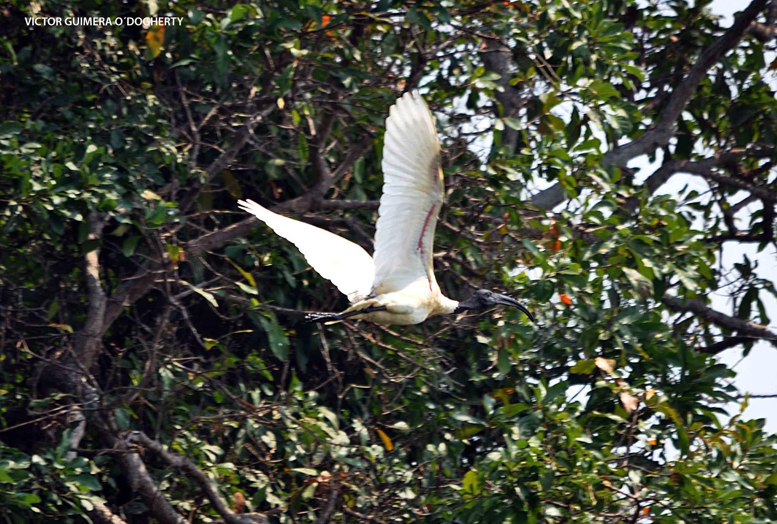 Mis im genes de aves foto del ibis oriental - Immagini del cardellino orientale ...