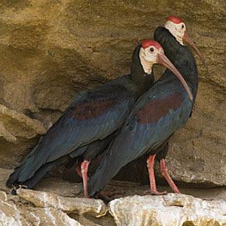 ibis calvo Geronticus calvus