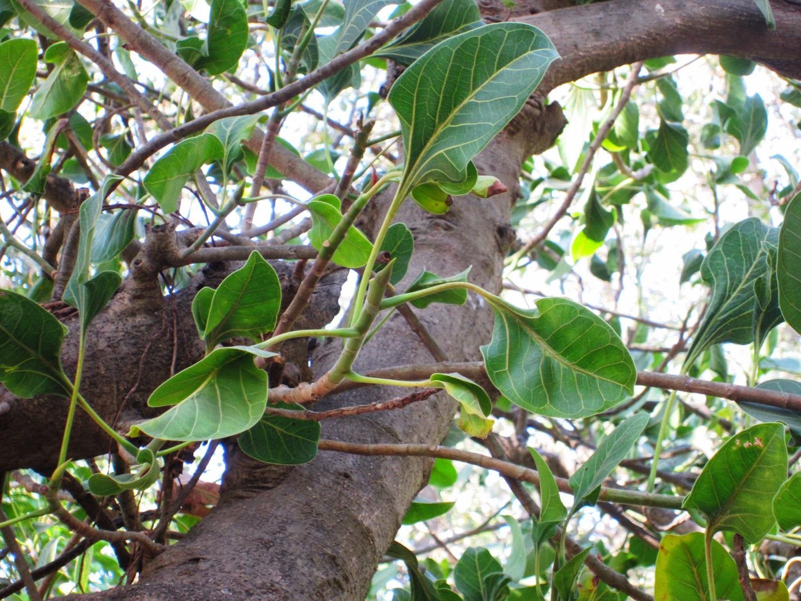 Ficus Krishnae
