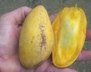 buah mangga, penyakit tanaman mangga, hama mangga, hama tanaman mangga, budidaya buah mangga, penyakit pohon mangga;