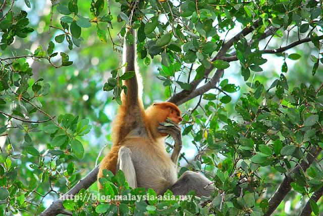 Picture of a Proboscis Monkey