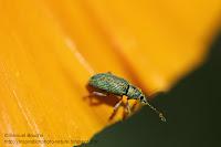macro charançon sur une fleur orange