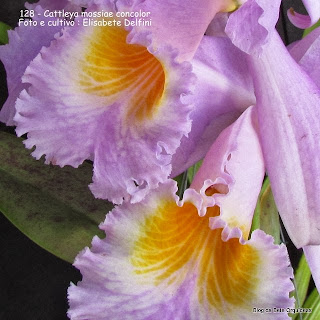 Cattleya labiata var. reineckeana,  Catteya mossiae var.decora, Cattleya mossiae var. beyrodtiana, Cattleya unifoliate