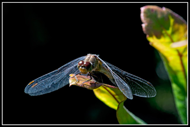 Nova Scotia; Dragonfly