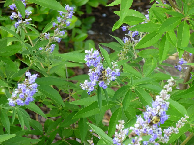 Vitex agnus-castus, Chaste Tree, Monk's Pepper with Bees