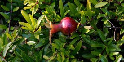 Khasiat daun delima untuk kesehatan