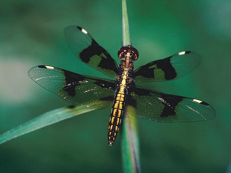 dragonfly wallpapers
