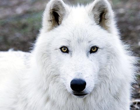 Setiyi Kivan Cyzer  Arctic-Wolf-wolves-6002944-480-379