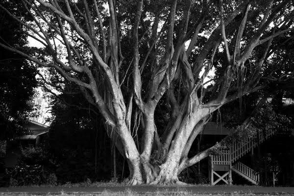 Old tree, North Lismore