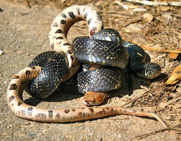 living alongside wildlife kingsnakes keep copperheads in check special blog carnival edition dont miss links at bottom