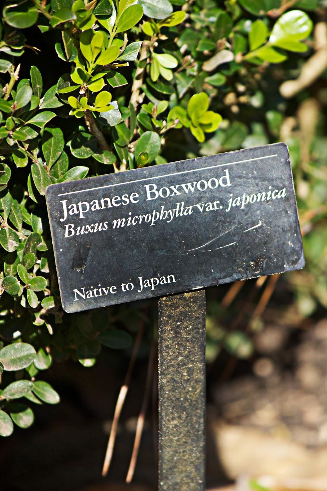 japanese boxwood plant - photo copyright Allison Beth Cooling