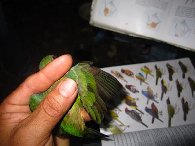 Passerina ciris Painted bunting birding Nicaragua