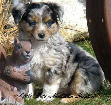 Cute puppy dogs mini australian shepherd puppies