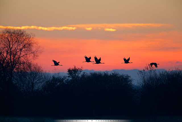 Kraanvogels vliegen bij ochtendgloren van hun slaapplaats in het veen naar de akkers om te foerageren.