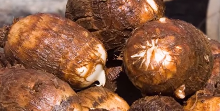 Taro Root is a staple crop used in many African, Asian, Caribbean, and Hawaiian recipes.