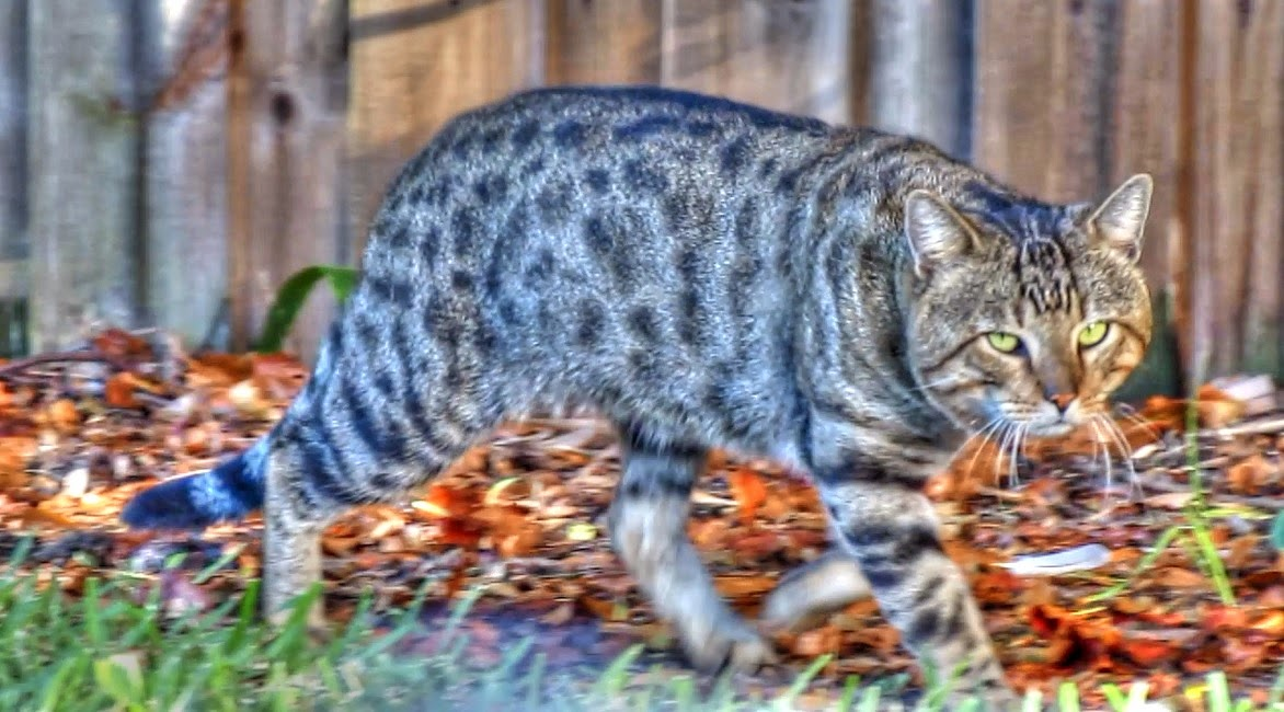 Feral Bengal Spotted Tabby Cat