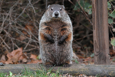 woodchuck