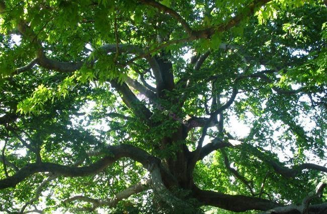 Abanoz Ağacı Özellikleri